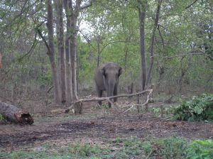 Elephants in the wild!